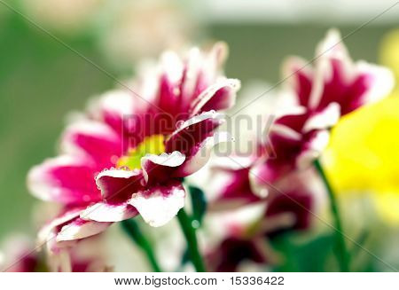 Closeup of two pink daisy-gerbera with soft focus