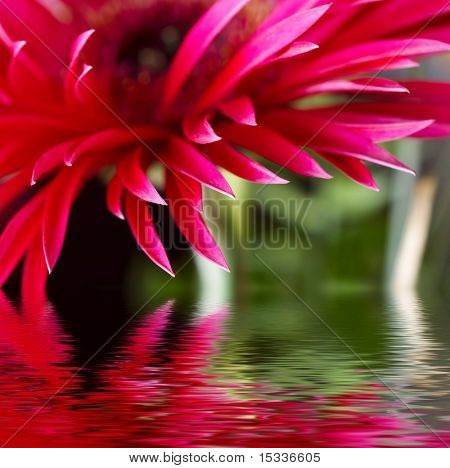 Closeup of pink daisy-gerbera with soft focus reflected in the water
