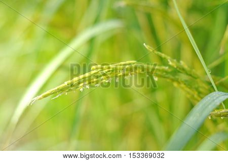 Blurry and soft focus rice field in the morning. Close up of green paddy rice. Green paddy rice field under sunrise, Blur Paddy rice field in the morning background