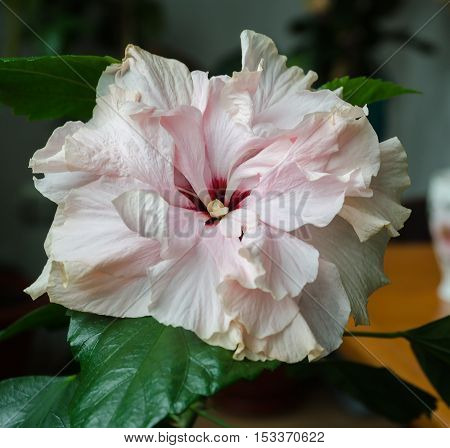 beautiful delicate pink hibiscus flower with stamens and pistil on a background of green leaves