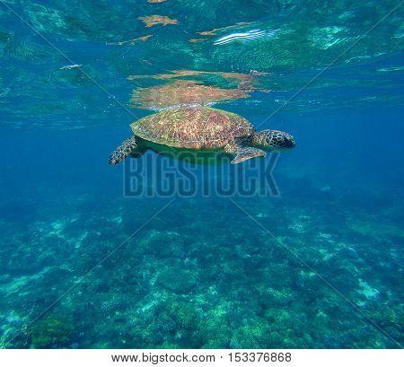 Sea turtle in blue water. Green sea turtle close photo. Sea underwater adventure.