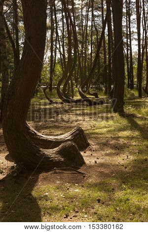 Photo of Crooked Forest in Nowe Czarnowo in Poland