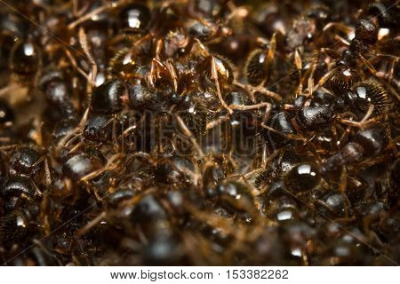 Huge pile of pesky sidewalk ants in closeup macro