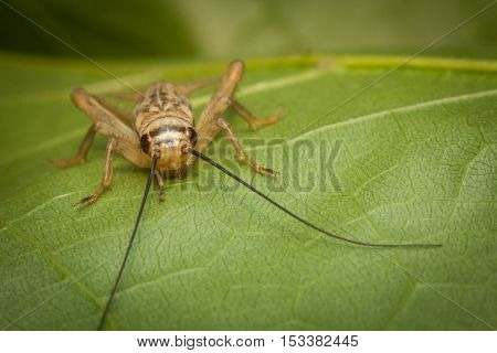 Close up macro feeder house cricket on green leaf