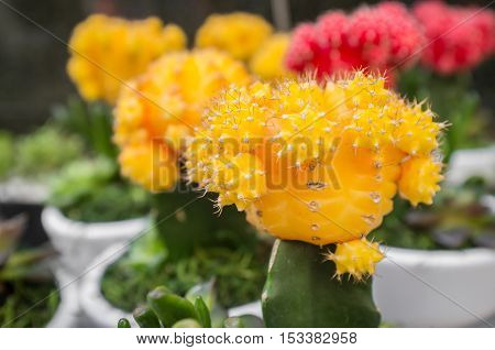 Row of red grafted moon cactus on display at local market