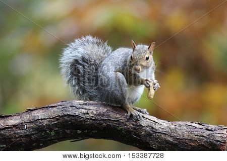 An eastern gray squirrel in Fall sitting in a branch eating a peanut
