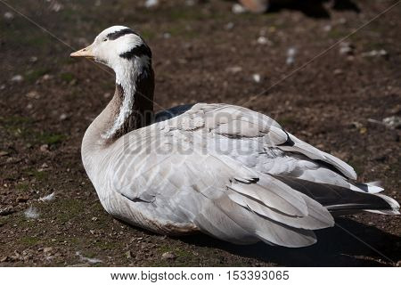 Bar-headed goose (Anser indicus). Wildlife animal.