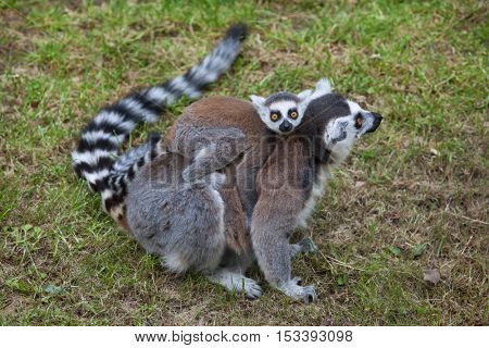 Ring-tailed lemur (Lemur catta). Wildlife animal.