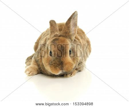 Cute Brown bunny rabbit on a white background