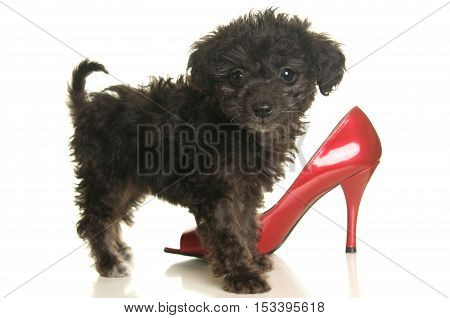 Cute Black Poodle Puppy on a white background with a red high heel shoe