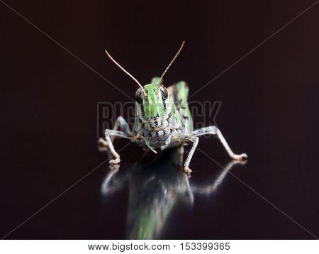 Locust close up macro portrait. Shallow DOF