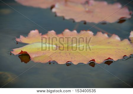 Lily pads floating on the surface of the water