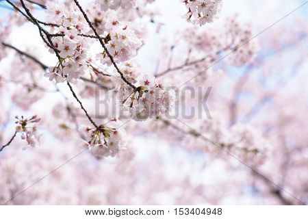 Cherry blossom in full bloom under a soft blue spring sky. Shallow depth of field. Focus on center flower cluster.