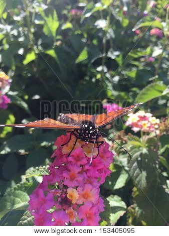 Male Monarch Butterfly On Pink Flowers