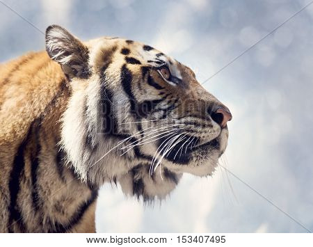 Bengal Tiger Portrait against a Sky