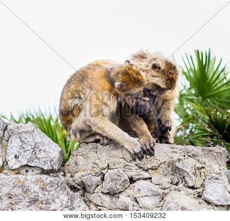 The Barbary macaque population in Gibraltar is the only wild monkey population in the European continent. Here a mother attentively cares for its baby.