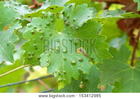 Leaf galls look like warts on grape leaves caused by a parasite or insect mites living within the vines. Does not affect grapes.