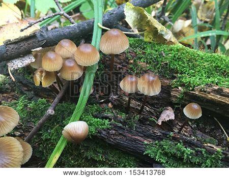 Wild mushrooms on a tree stump. Forest photo. Non-edible mushroom. Poisonous.