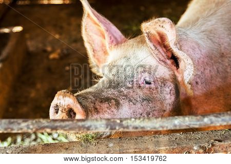Pigs In The Pigsty