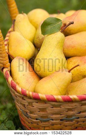 Fresh Ripe Yellow Pears In Wicker Basket In Sunny Garden Close-up. Pears In Basket. Yellow Pear. Selective Focus.