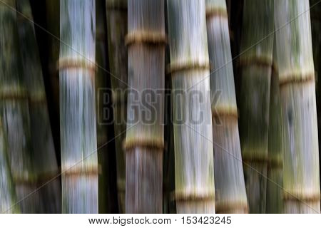 Fast Growing Bamboo