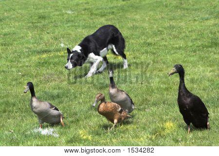 Collie  Herding Ducks