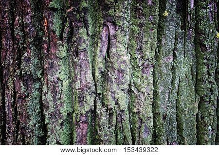 textured bark of an old large tree with moss on it