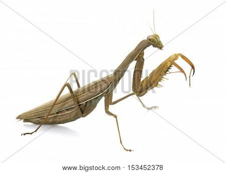 European mantis in front of white background