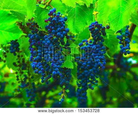 grapes. blue grapes. bunch of ripe grapes flavored