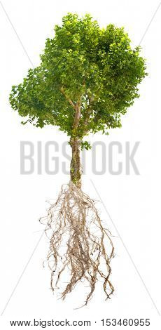 single London plane tree with root isolated on white background
