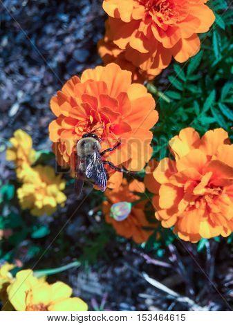 Bumble Bee On An Orange Flower