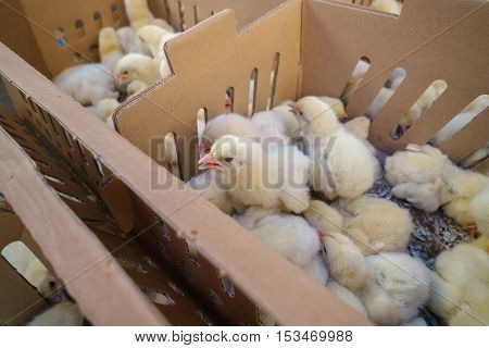 Many hatched chicks in cardboard box ready for growing at chicken farm.