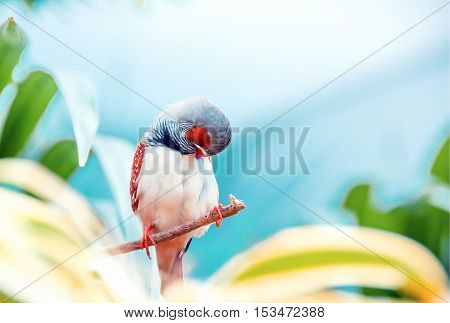 Wild male Zebra Finch (Taeniopygia guttata). Exotic bird sitting on a branch and cleans its feathers. Freedom concept.