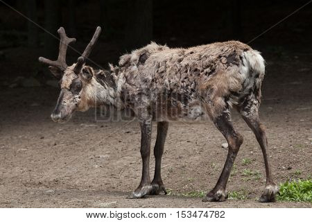Domestic reindeer (Rangifer tarandus f. domestica), also known as the domestic caribou. Wildlife animal.