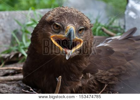 Steppe eagle (Aquila nipalensis). Wildlife animal.