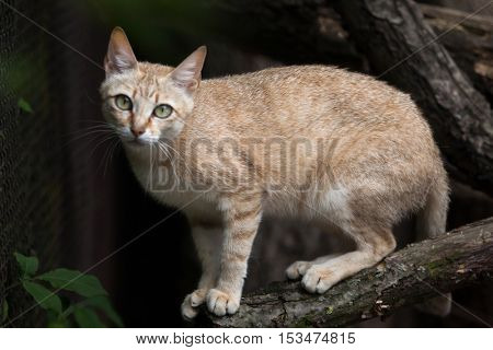 Arabian wildcat (Felis silvestris gordoni), also known as the Gordon's wildcat. Wildlife animal.