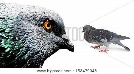 portret pigeons on a white background, studio shot