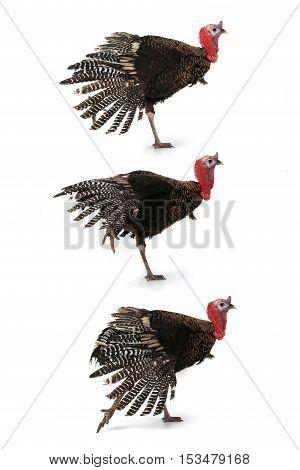 Turkey isolated on a white background, studio shot