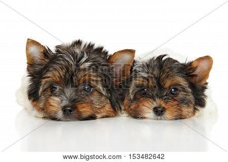 Biewer Yorkshire Terrier Puppies