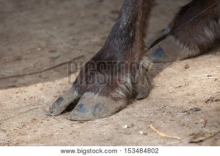 Hoof of domestic reindeer (Rangifer tarandus f. domestica), also known as the domestic caribou. Wildlife animal.