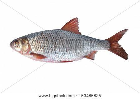 fish rudd on a white background, studio shot