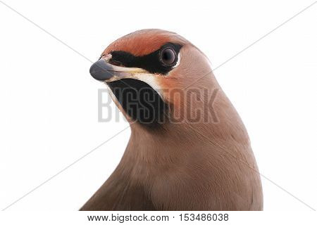 portrait Bohemian Waxwing on a white background