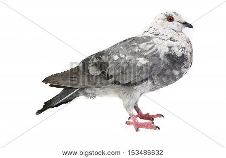 braun dove on a white background, studio shot