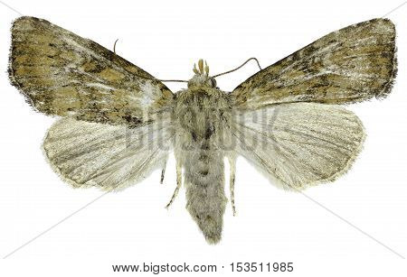 Slender Brindle on white Background - Apamea scolopacina (Esper 1788)