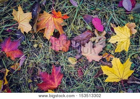 Colorful autumn fallen leaves. Red and orange autumn leaves background. Colorful and bright background made of fallen autumn leaves. Autumn fall scene. Top view. Copy space.