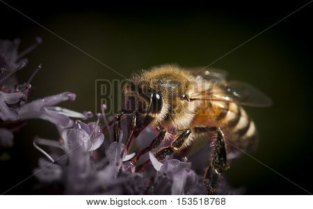 a honey bee pollinating a purple flower