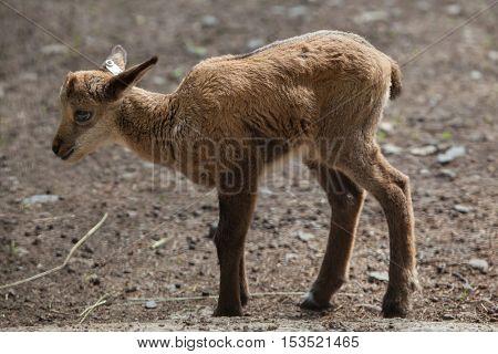 Alpine chamois (Rupicapra rupicapra rupicapra). Wildlife animal.