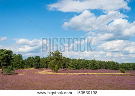 Heathland with flowering common heather (Calluna vulgaris) and an oak in the Lueneburg Heath (Lueneburger Heide) in Lower Saxony Germany. HDR
