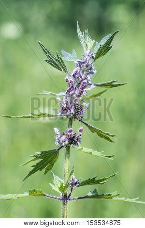 Medicinal plant Leonurus quinquelobatus. Perennial herbaceous plant a species of Motherwort (Leonurus) of the family Lamiaceae or Labiatae (Lamiaceae). Flowering plant closeup