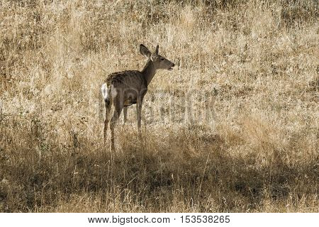 White tail deer walking in grass on Sun Mountain near Winthrop Washington.